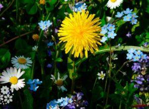 Ярко-жёлтые лучики солнца… Стихи про одуванчик для детей