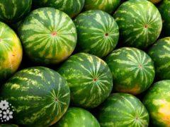 Среди бахчи – зелёные мячи. Загадки про арбуз для детей