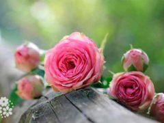 За красоту мы любим розы. Стихи про розы