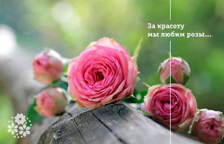 Стихи про розы