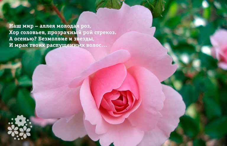 Короткие, красивые стихи про розы