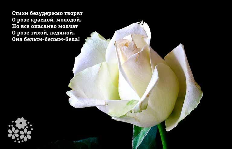 Стихи про белые розы