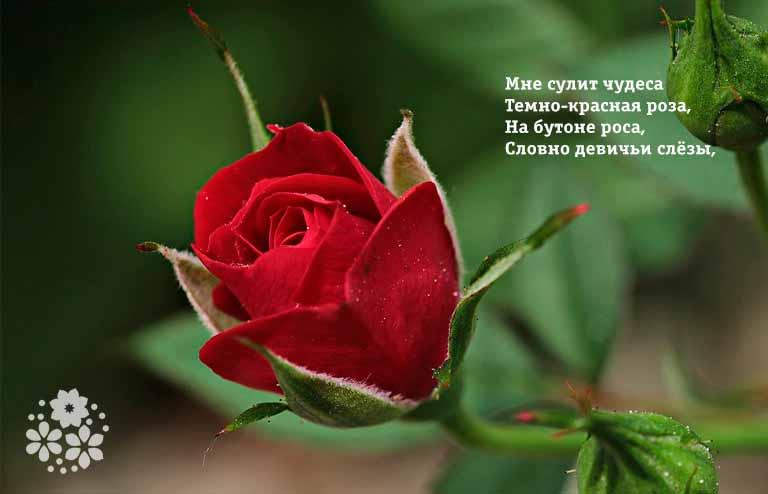 Стихи про красные розы
