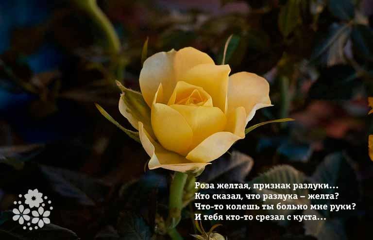 Стихи про жёлтые розы