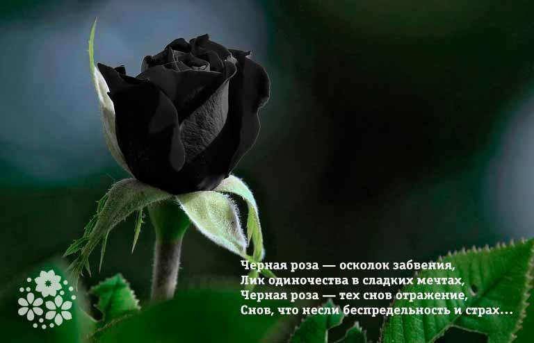 Стихи про черные розы