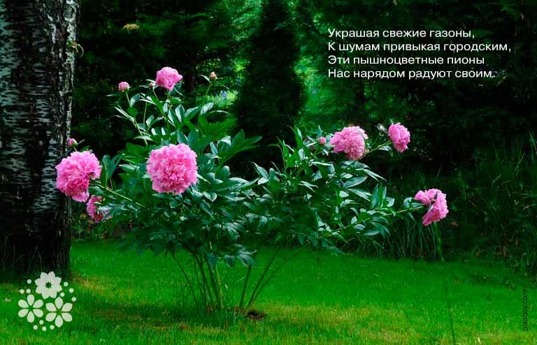 Стихи про пионы известных русских поэтов