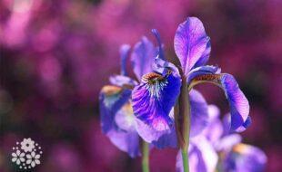 Ирисовая свежесть лета и краски яркие цветов. Стихи про ирисы