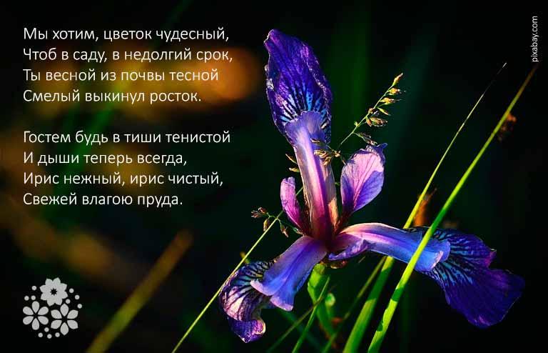 Стихи про ирисы известных поэтов