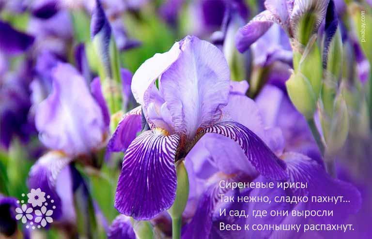 Стихи про цветы ирисы в саду