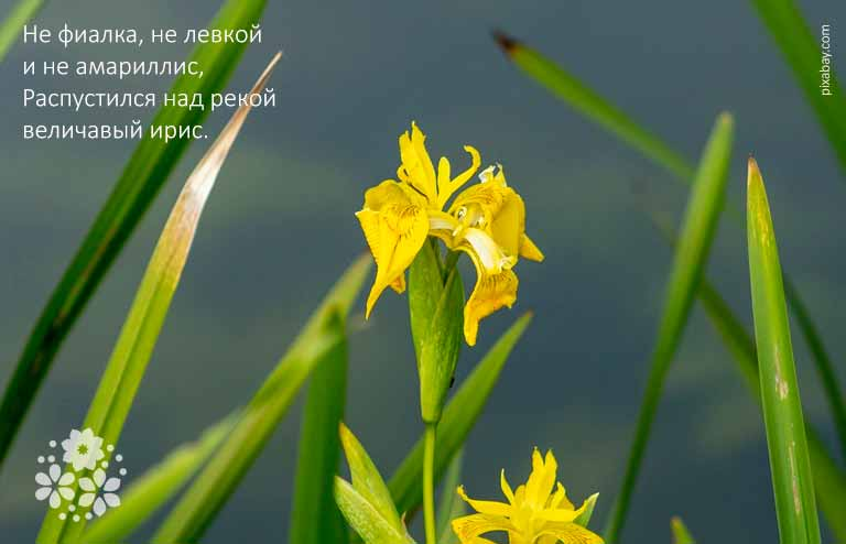 Короткие стихи про цветы ирисы для детей