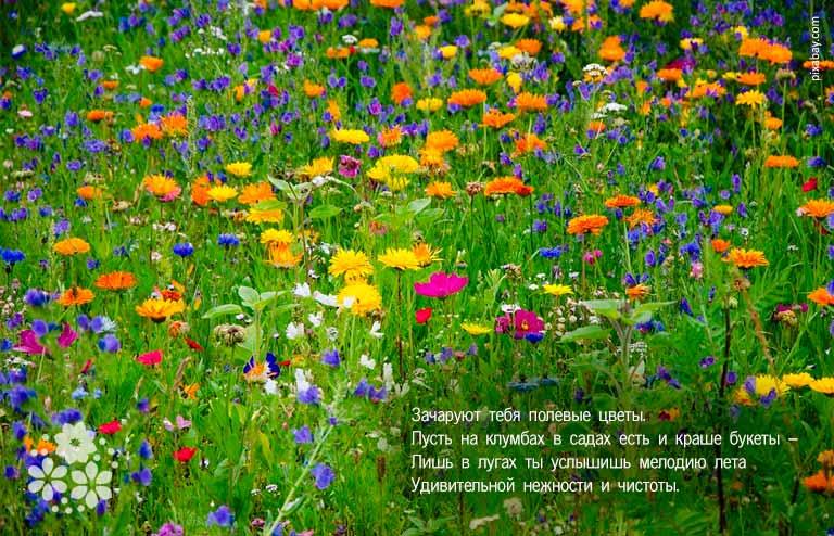 Стихи про полевые цветы